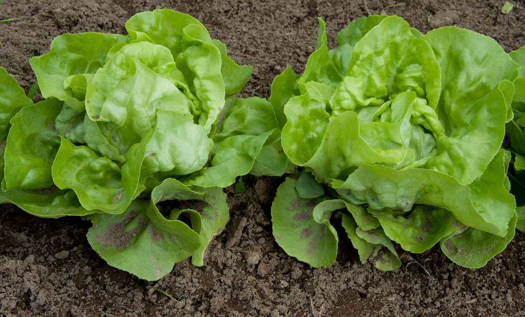 lettuce-grown-in-soil